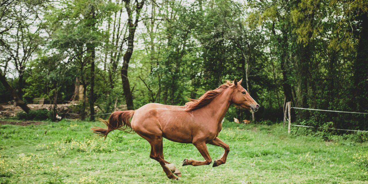Dæmp din hesteallergi med CBD-olie