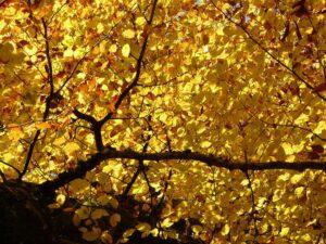 skov_blade træ