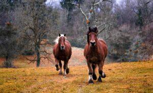 heste på engen