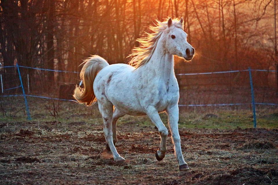 Galoperende hest