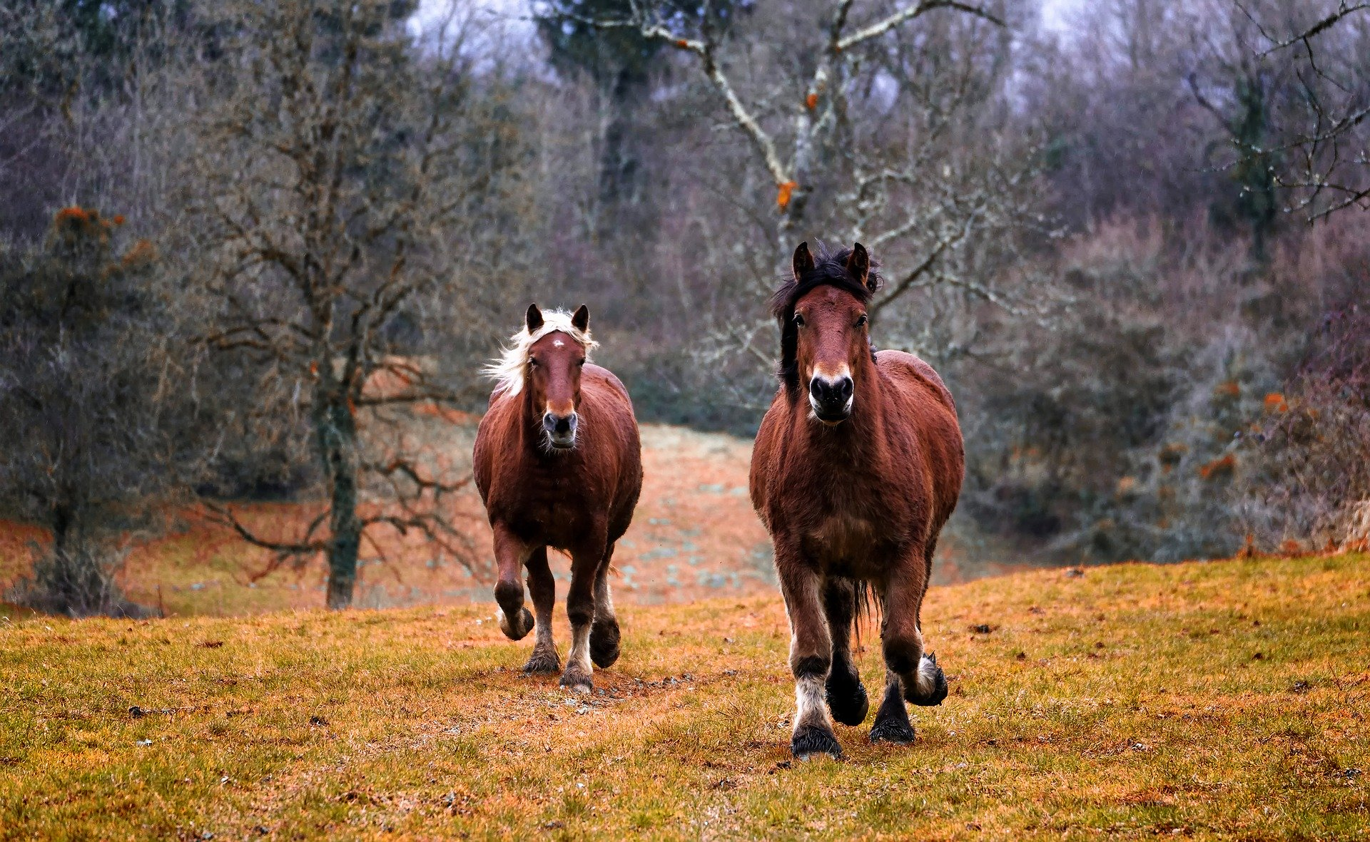 travende heste