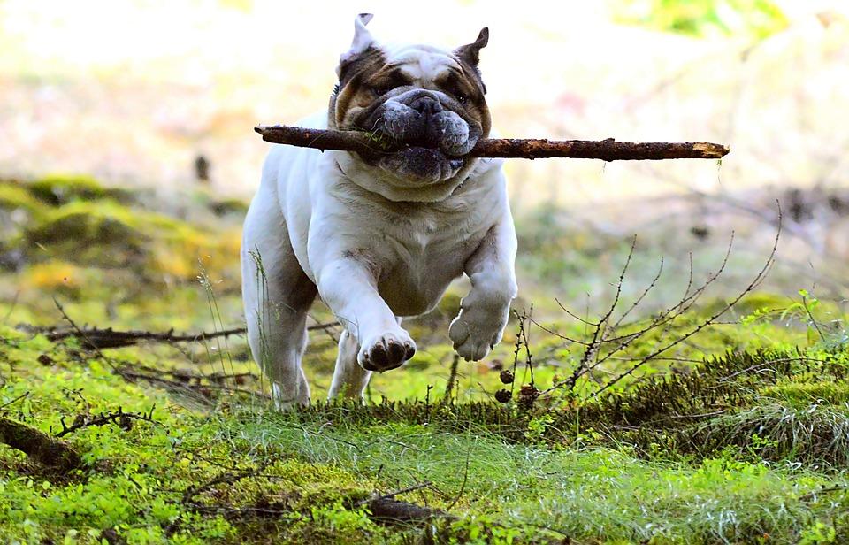 Hund med pind