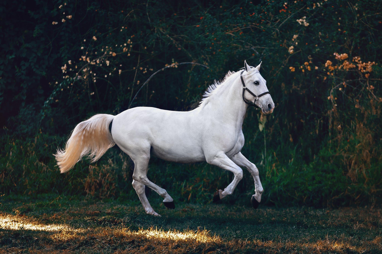 Hvid løbende hest