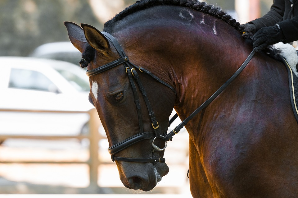 Brun hest med hovedtøj