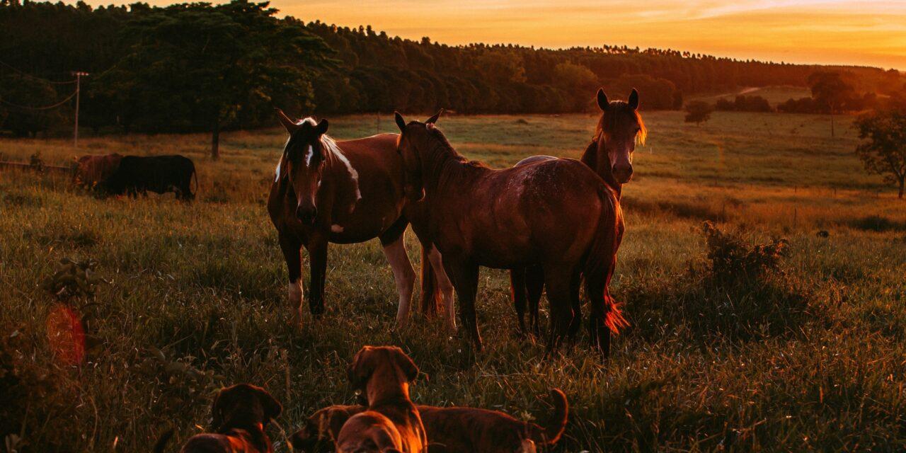 3 gode hunderacer at have sammen med heste
